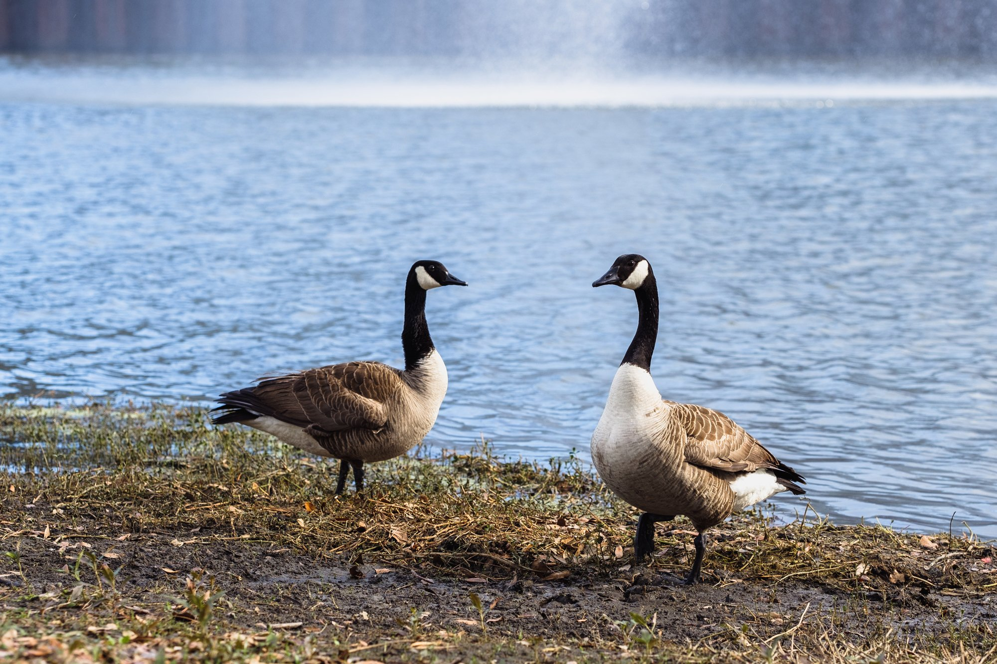 Canada Geese May Have Overstayed Their Welcome Tallahassee Magazine