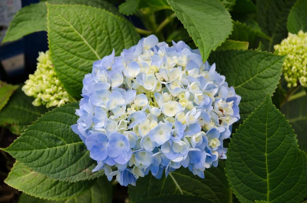 1 Hydrangea Bloom