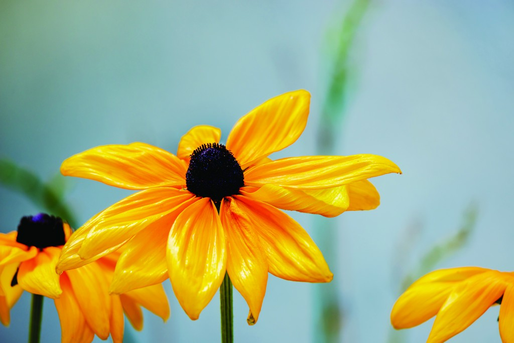 Yellow Coneflower After Strong Rain