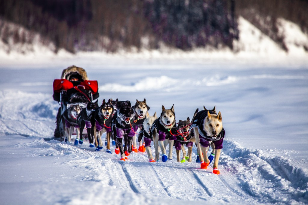 Iditarod, Sled Dogs On The Yukon River