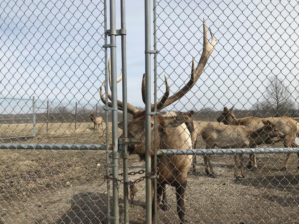 Native Hoofed Animals Elk Ak