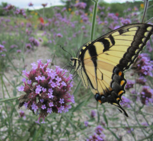 Pollinators Survey @ Tulsa Botanic Garden | Tulsa | Oklahoma | United States