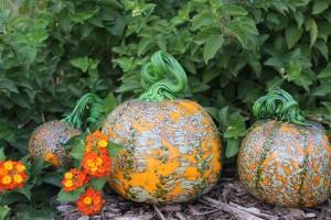 Pumpkin Patch @ McClure Park | Tulsa | Oklahoma | United States