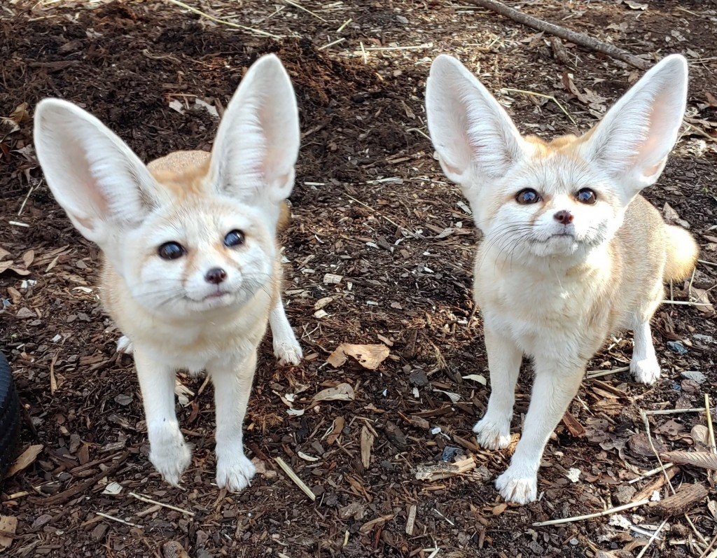 Fennecfoxes