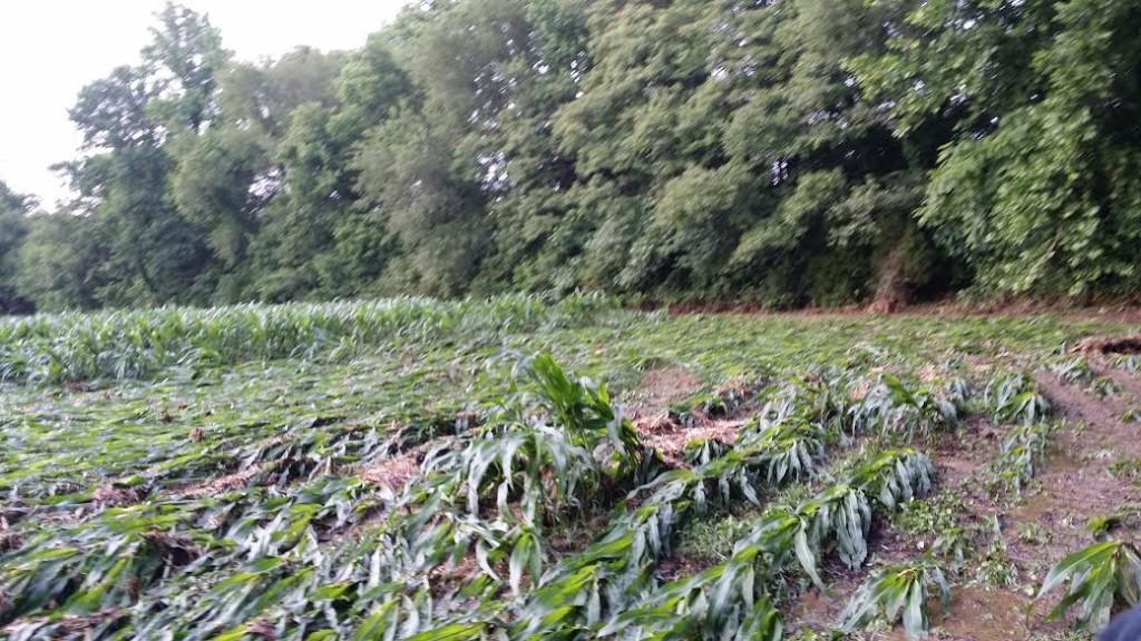 Recent severe weather damages crops - WBBJ TV