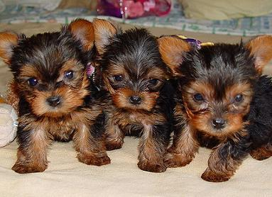 Yorkie Puppy For Sale Wbbj Tv