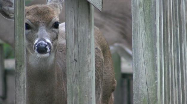 Deer Cwd 2020