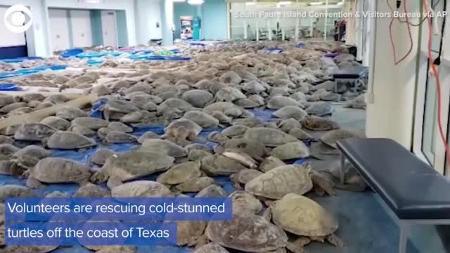 Cold Stunned Turtles Saved