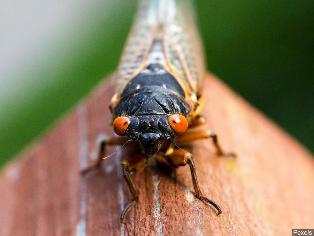 trillions of cicadas