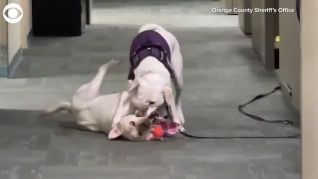 Comfort Dogs Have Wrestling Match