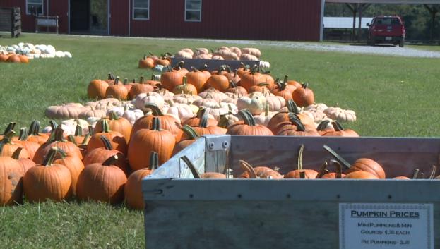 Pumpkins At Falcon Ridge Farms 1