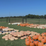 Pumpkins At Falcon Ridge Farms 2