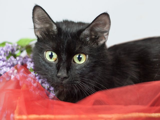 Gloria, a black cat with green eyes