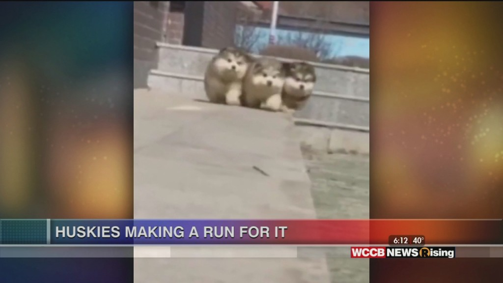 Viral Videos: Family Honors Mom And Huskies Running