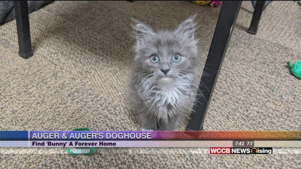 Auger & Auger's Doghouse: Meet Bunny The Kitten!