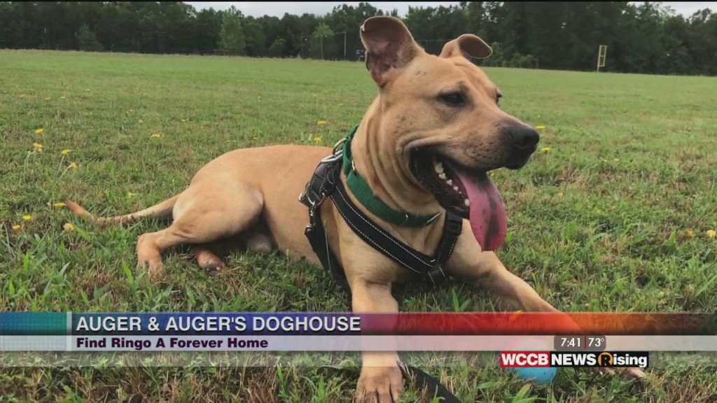 Auger & Auger's Doghouse: Meet Ringo!