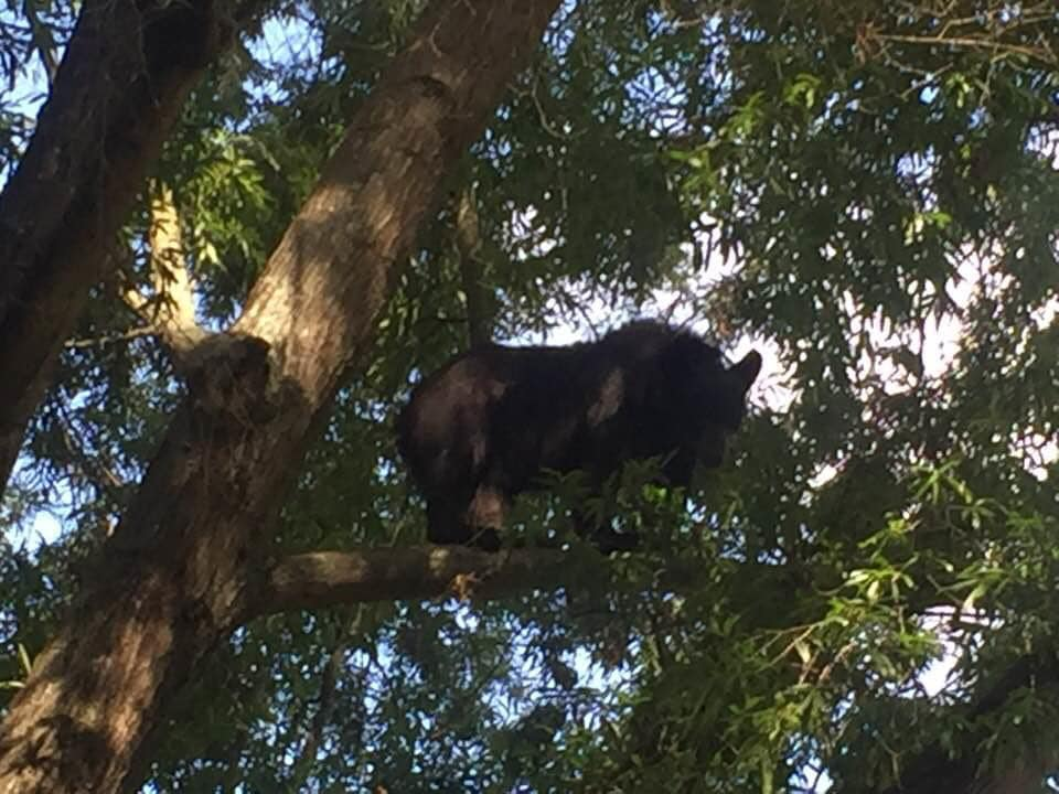 Bear In Tree In Mooresville