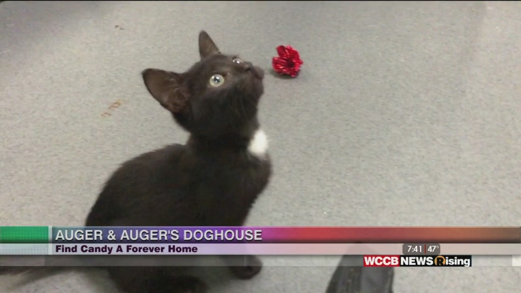 Auger & Auger's Doghouse: Meet Candy The Kitten!
