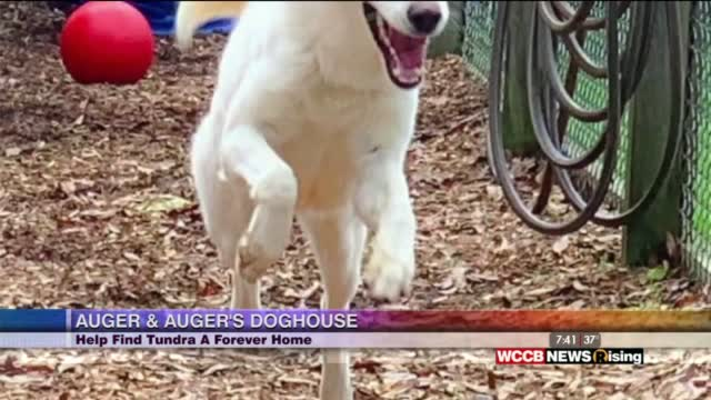 Auger & Auger's Doghouse: Meet Tundra!