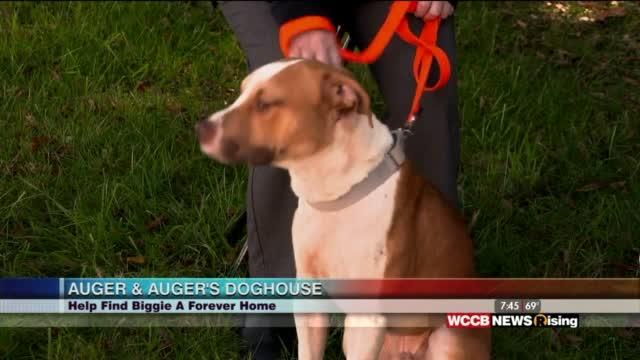 Auger & Auger's Doghouse: Meet Biggie!