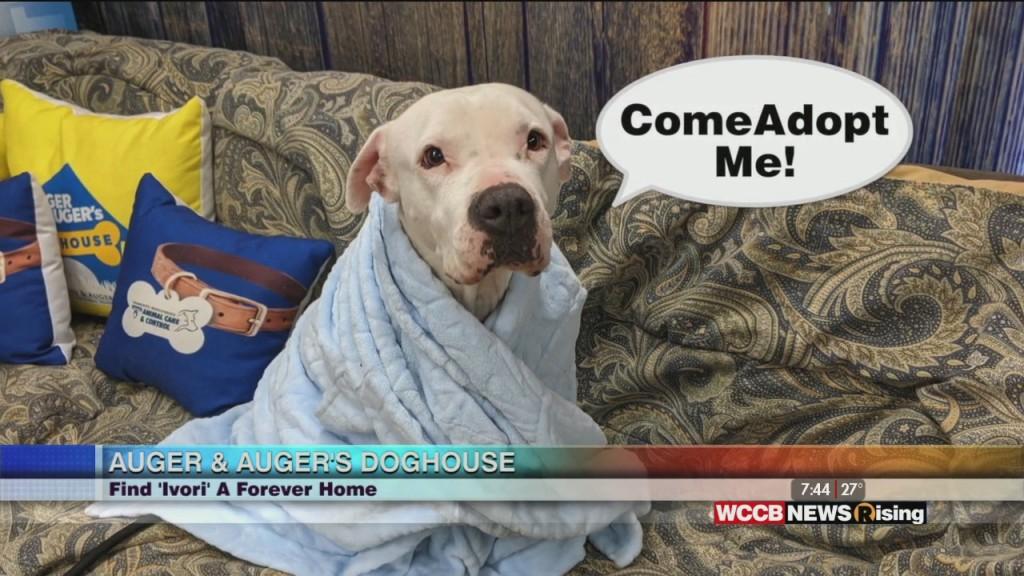 Auger & Auger's Doghouse: Meet Ivori!