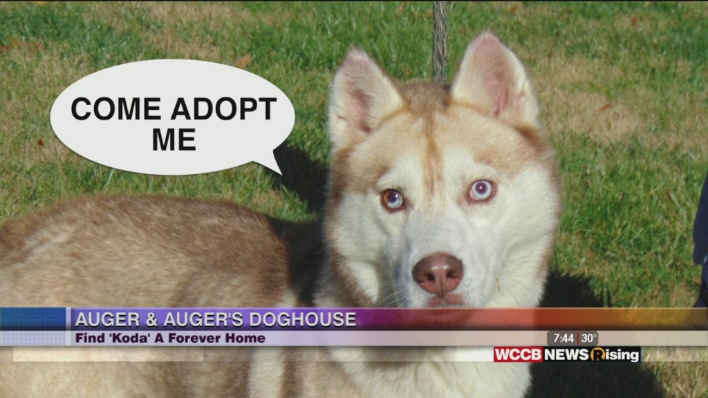 Auger And Auger's Doghouse: Meet Koda!