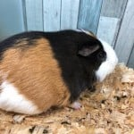 Patches The Guinea Pig