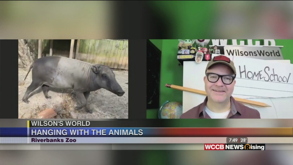 Wilson's World H Omeschool: Learning About The Babirusa At The Riverbanks Zoo In Columbia