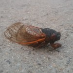 Cicada Photo Credit Richard Groves