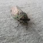 Cicada File Photo Photo Credit Richard Groves