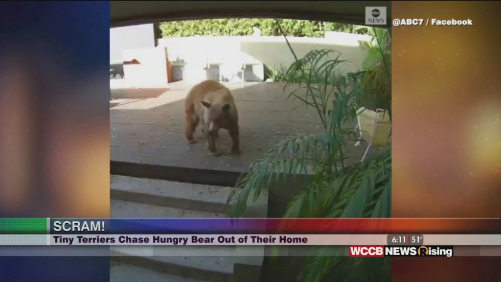 Viral Videos:dogs Chase Bear Out Of Home