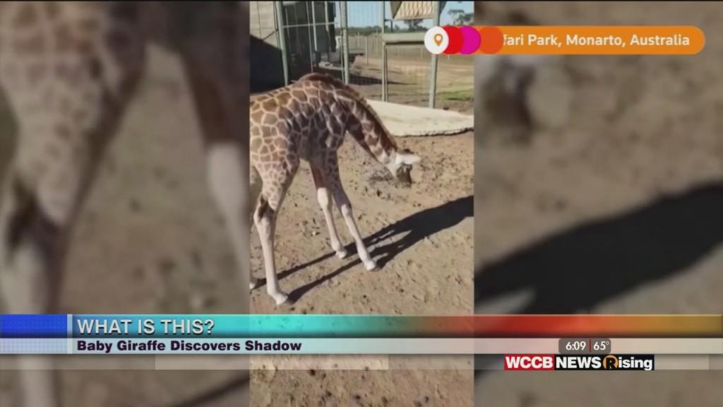 Viral Videos: Giraffe Discovers Shadow, Bear Pool Party & Streaker