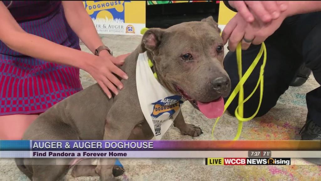Auger & Auger Doghouse: Meet Pandora!