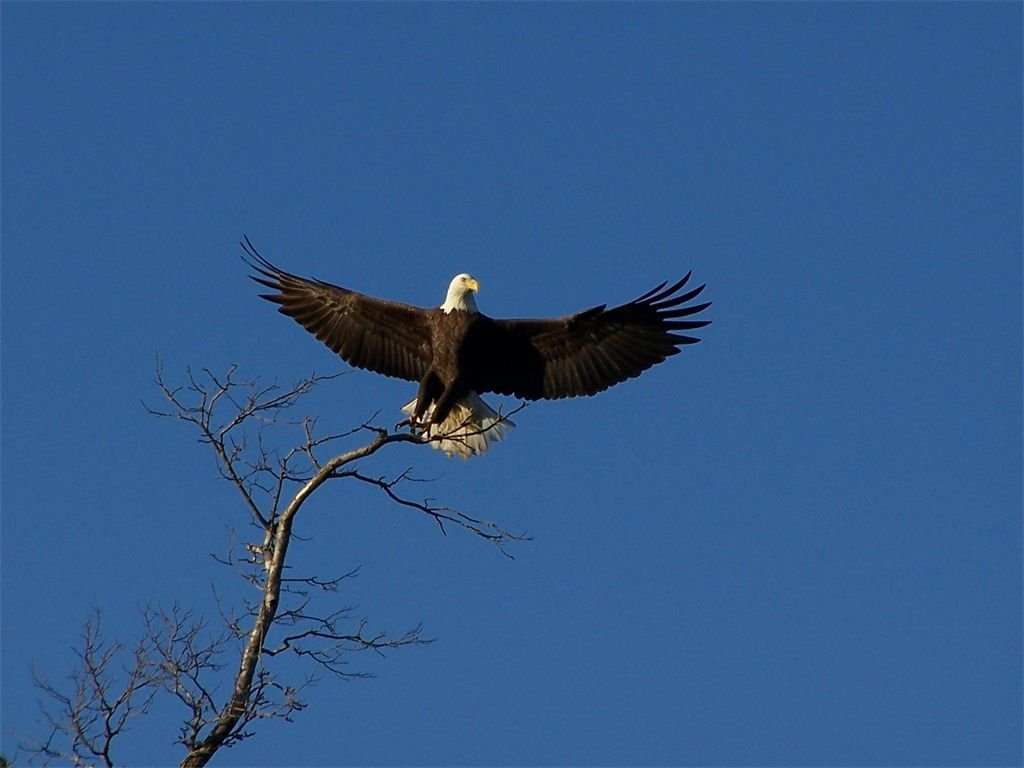 My family and I took a fall boat ride down the Tennesee River looking at the beautiful fall leaves. As we were looking around my brother spotted the bald eagle. As we moved closer I was able to take one picture with him just sitting in the tree but right after that shot this is what I capture with the camera. It the most beautiful picture of a bald eagle taking flight I have ever seen. They are such beautiful powerful birds no wonder that is a National bird. I hope ever one enjoys these picture as I did taking it.