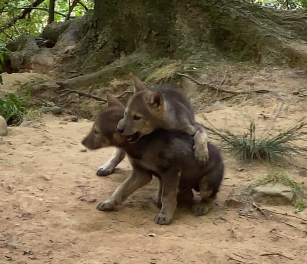 Reflection Riding American Red Wolf puppies