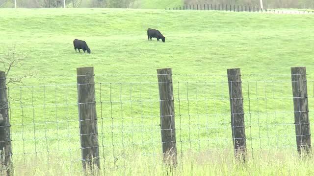 Ky: Deputies Looking For 50 Stolen Cows