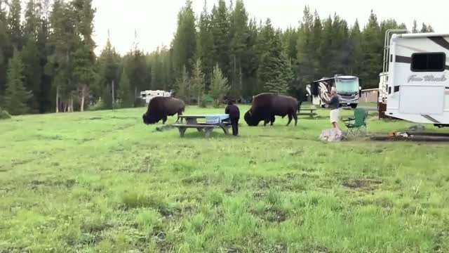 Mn: Family Witnesses Woman Gored By Bison