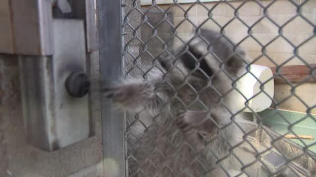 Ca: Caught On Cam: Raccoons Break Into Bank