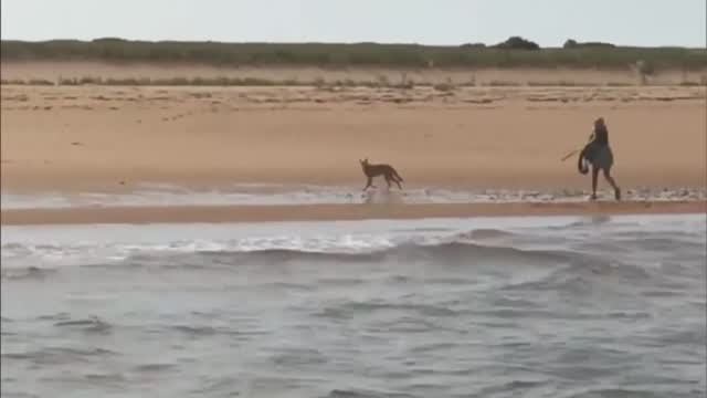 Ma: Woman Fights Off Coyote On Beach (on Cam)