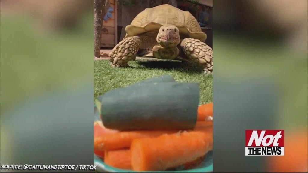 Tortoise Tiktok