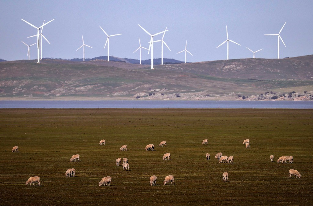 Sheep Graze In Front Of Wind Turbines On Lake George