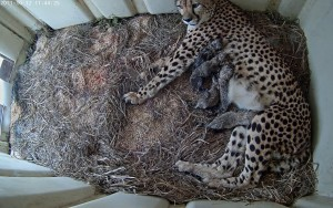 Smithsonian Webcam Offers View Of Its Adorable Litter Of Just Born Cheetahs