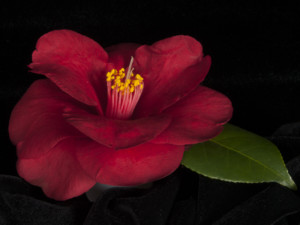TIDEWATER CAMELLIA CLUB 70th SHOW & SALE @ New Hanover County Arboretum | Wilmington | North Carolina | United States