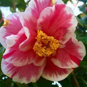 Oakdale Cemetery Camellia Tour @ Oakdale Cemetery