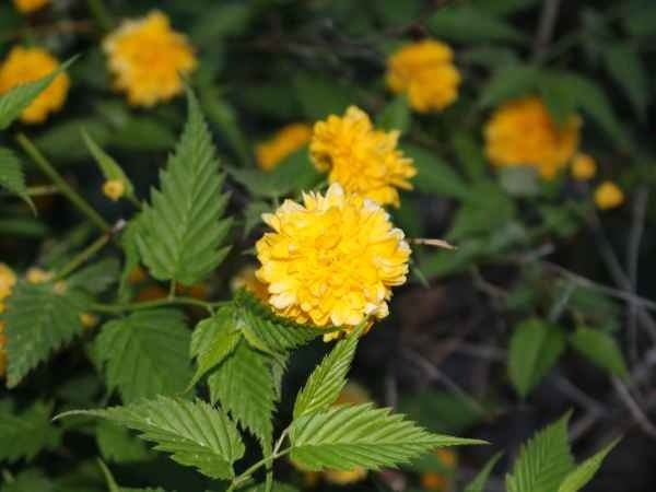 Japanese kerria a shrub for all seasons 47abc originally imported from china and japan this hardy shrub is nearly indestructible the round puffy rose like bright yellow flowers about the size of ping mightylinksfo
