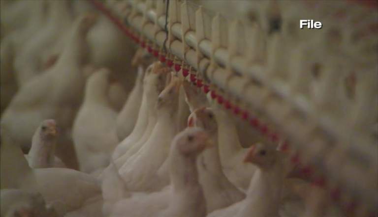 Perdue Farms Invests Millions In Milford De Plant For More Humane Chicken Slaughter 47abc