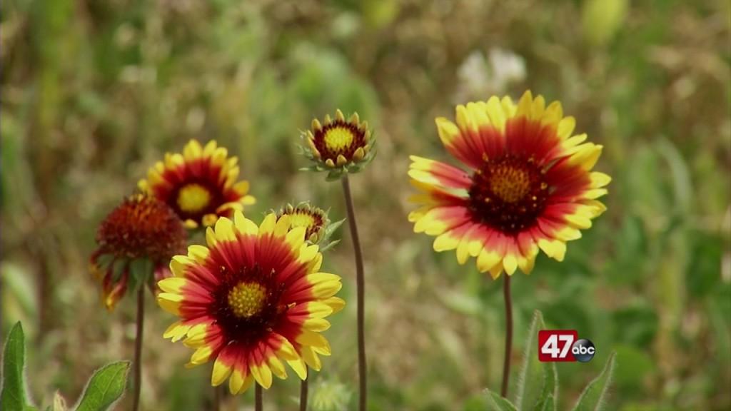 Pollinator Habitiat Blooming