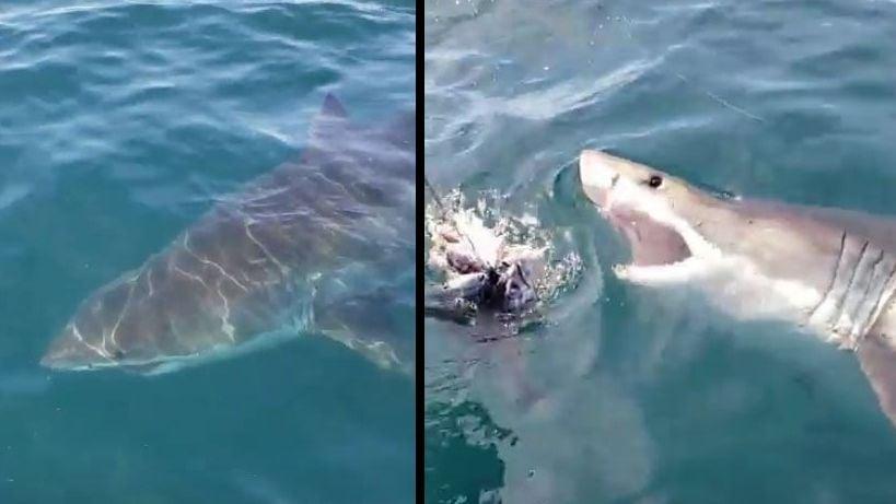 Ocean City Shark