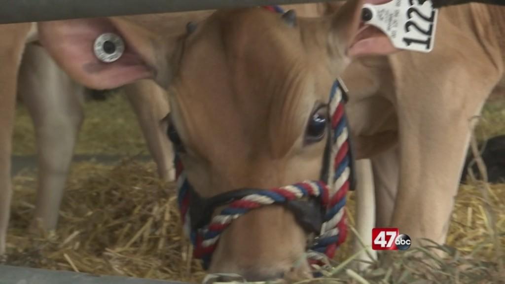 Livestockk At Del. State Fair