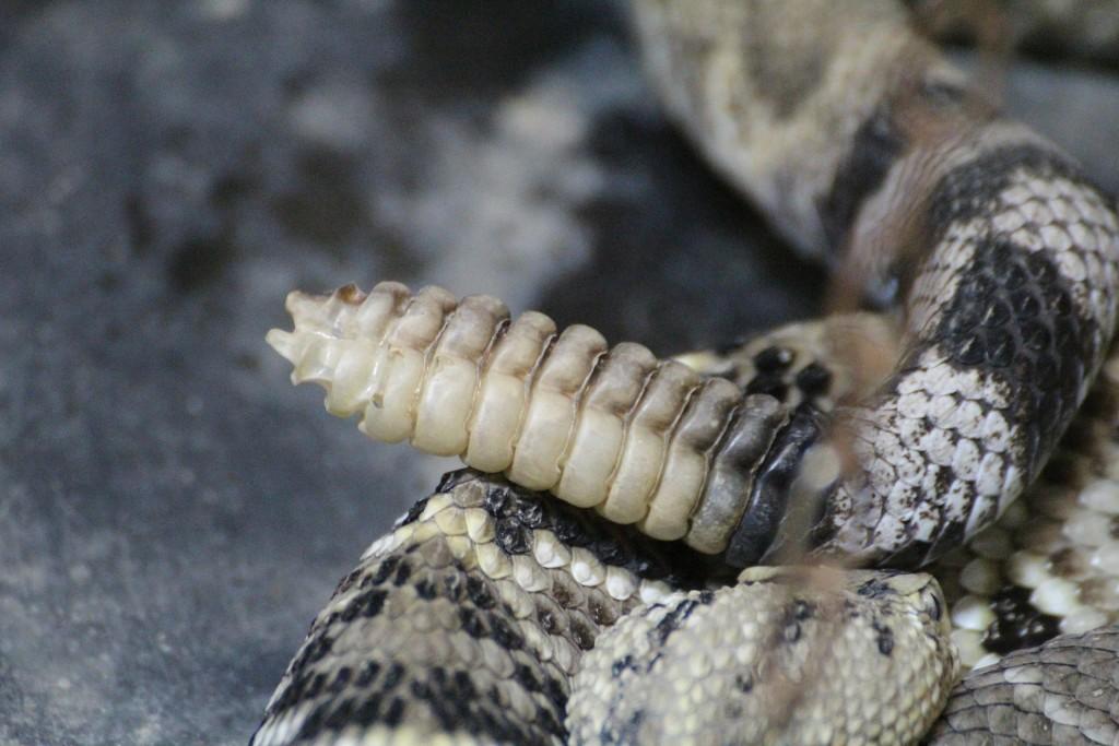Rattlesnake 415339 1920